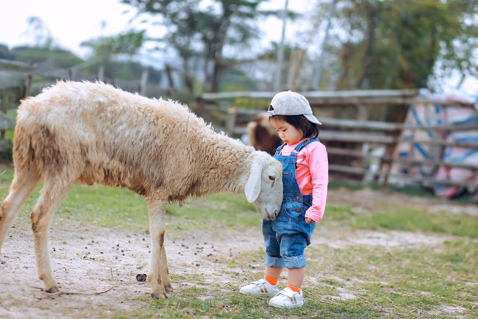 chụp ảnh cừu cho bé tại thảo nguyên hoa